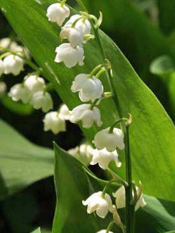 Lily of the Valley - Bridal Choice