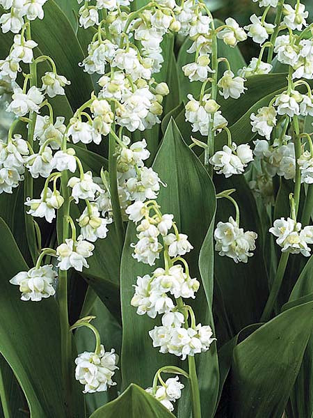 Convallaria - Prolificans Lily of the Valley
