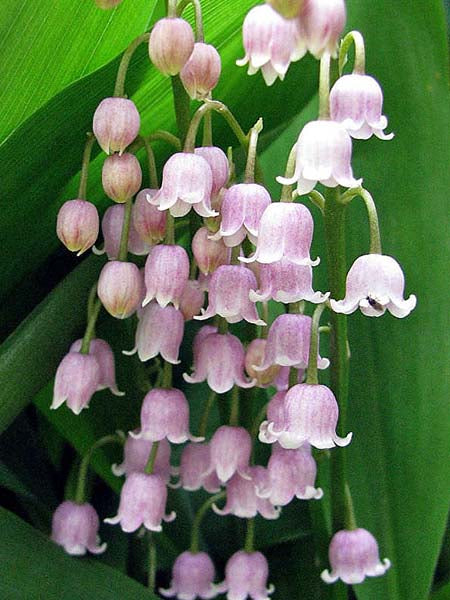 Convallaria - Pink Lily of the Valley