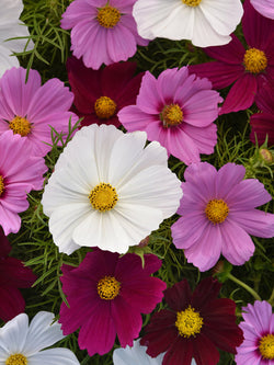 Cosmos - Sonata Purple Shades