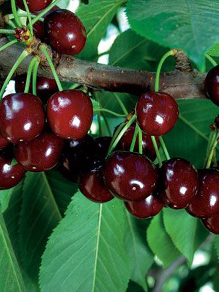 Prunus - Cupid Cherry 7 Gallon