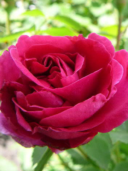 Rosa - Cuthbert Grant Rose