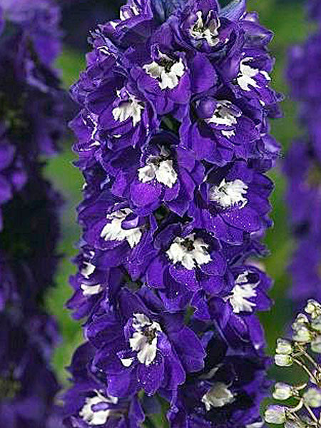 Delphinium - Dark Blue White Bee Larkspur