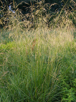 Deschampsia - Tufted Hair Grass