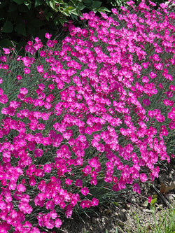 Dianthus - Firewitch Cheddar Pinks