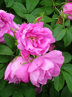 Rosa - Dwarf Pink Pavement Rose