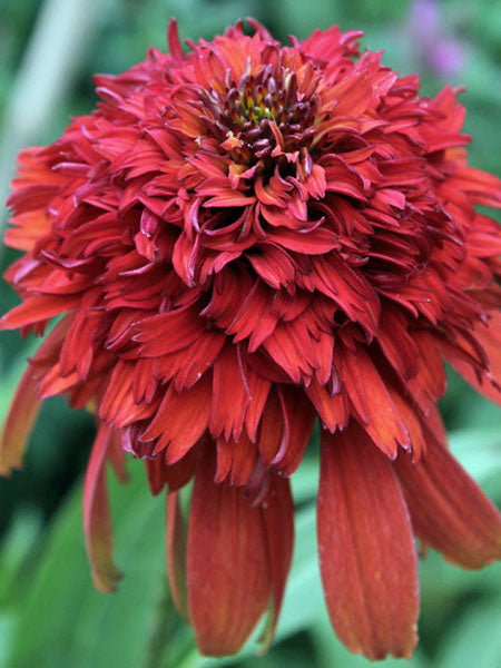 Echinacea - Hot Papaya Coneflower