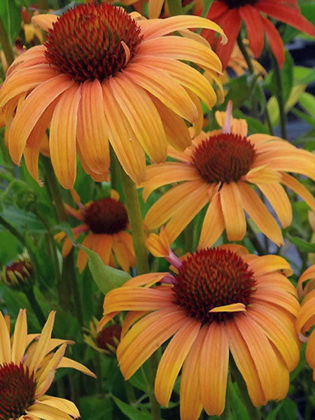 Echinacea - Orange Passion Coneflower