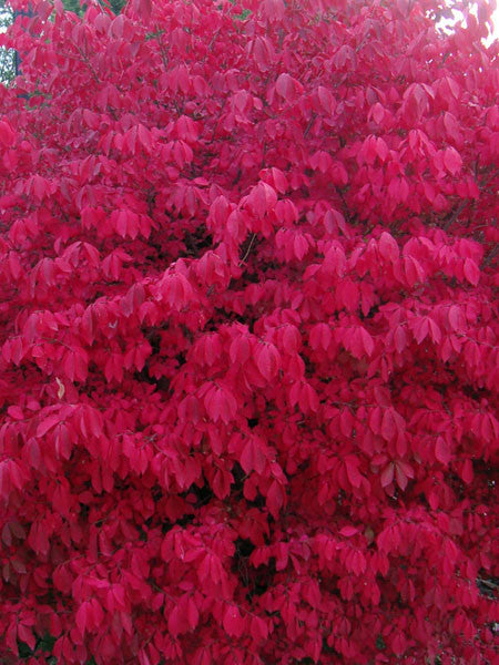 Euonymus - Chicago Fire Winged Burning Bush
