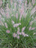 Pennisetum - Fountain Grass