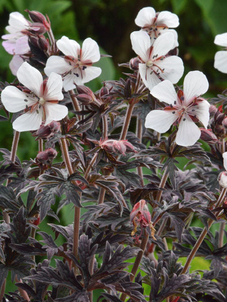 Geranium - Midnight Ghose Cranesbill