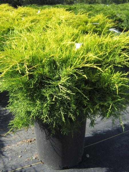 Juniperus - Gold Coast Juniper