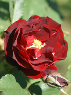 Rosa - Hope for Humanity Rose
