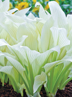 Hosta - White Feather