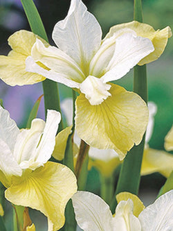 Iris - Butter and Sugar Siberian Iris