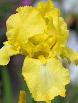 Iris -Harvest of Memories German Iris