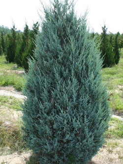 Juniperus - Moonglow Upright Juniper