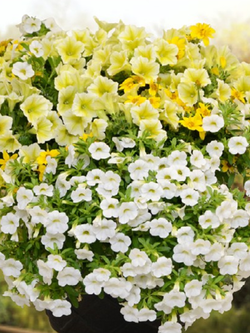 Lemon Chiffon - 12 inch hanging basket