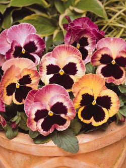 Hanging Flower Pouch - Pansy Matrix® Sunrise