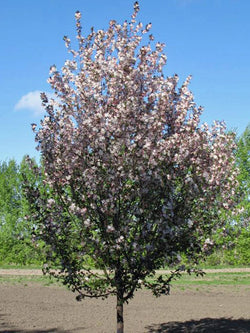 Malus - Courageous Flowering Crab