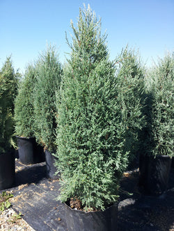 Juniperus - Medora Upright Juniper