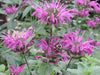 Monarda - Blue Stocking Bee Balm