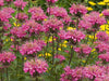Monarda - Marshall's Delight Bee Balm