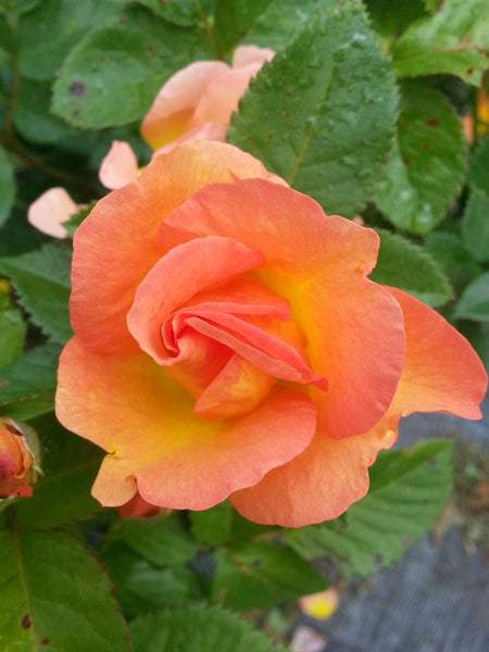 Rosa - Morden Sunrise Rose