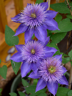 Clematis - Multi Blue - 1 Gallon