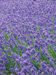 Lavandula - Munstead English Lavender