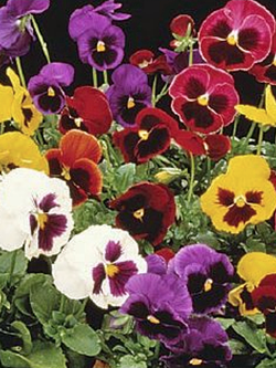 Hanging Flower Pouch - Pansy Majestic Giants Blotch Pansy Mix
