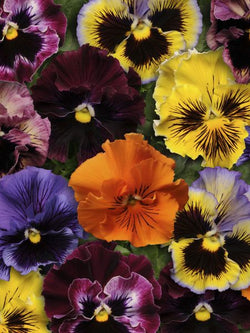 Hanging Flower Pouch - Pansy Frizzle Sizzle Mix