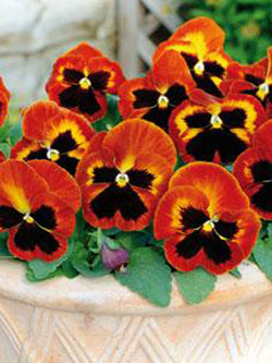 Hanging Flower Pouch - Pansy Matrix® Solar Flare