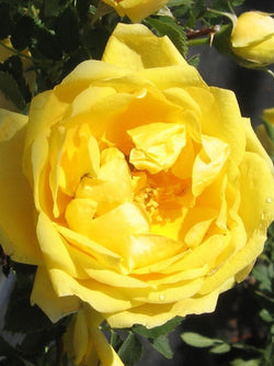Rose - Persian Yellow