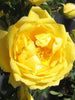 Rosa - Persian Yellow Rose