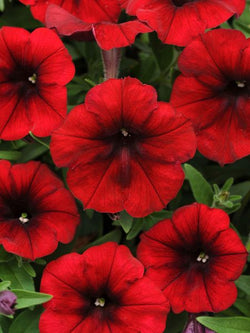 Hanging Flower Pouch - Petunia Easy Wave Velour Red