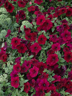 Hanging Basket - Burgundy Velour
