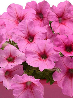 Hanging Basket - Pink Passion