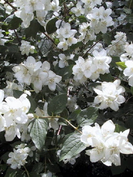 Philadelphus - Minnesota Snowflake Mock Orange