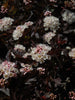 Physocarpus - Tiny Wine Ninebark