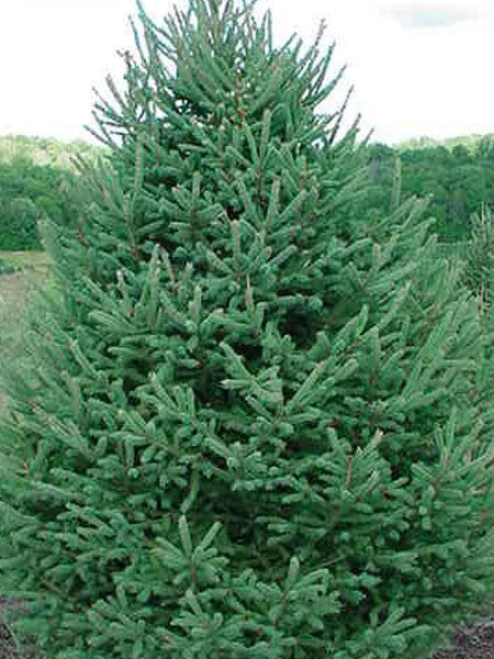 Picea - White Spruce