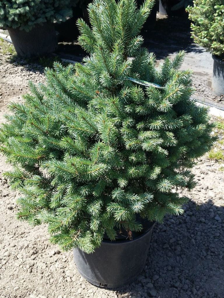 Italian Cypress Trees grow in a very narrow shape, so you can plant them in areas with limited space. They grow rapidly to provide privacy quickly. Dense green foliage is soft and stays green year round. Grows well as a container plant for porch or pool. Bestseller so place your order ASAP at spanarpatri.ml