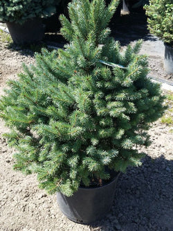 Picea - Sester's Dwarf Spruce