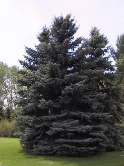 Picea - Colorado Spruce