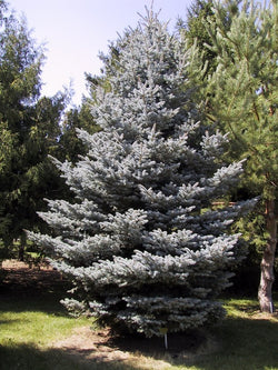 Picea - Fat Albert Spruce