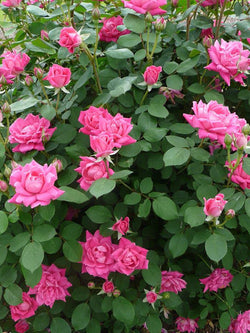 Rosa - Pink Knock Out Rose