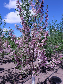 Malus - Pink Spire Flowering Crab