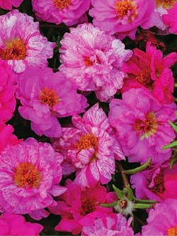 Portulaca - Happy Hour Pink Passion Mix