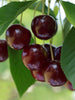 Prunus - Romeo Cherry