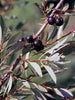 Prunus - Western Sandcherry